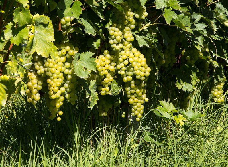 Vine Malvasia dei Colli di Parma