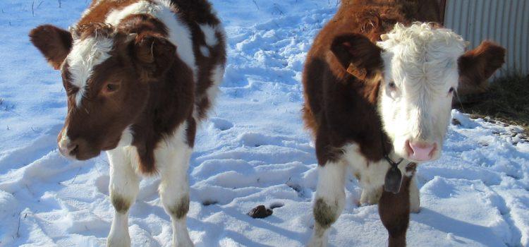 mucche agriturismo casanuova
