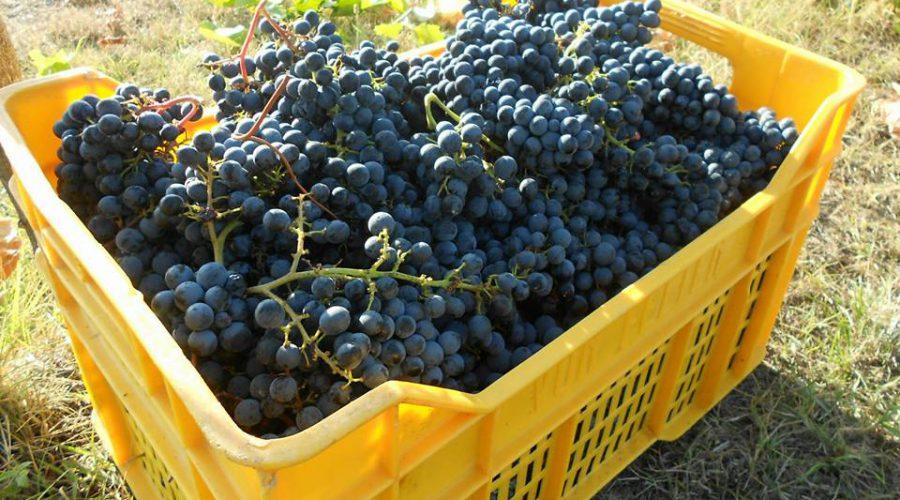 Cerdelli cassetta uva