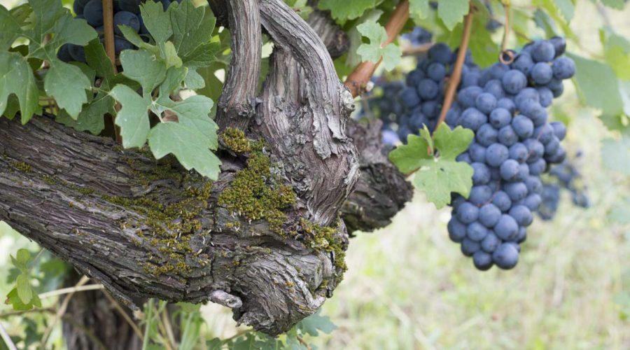 cantina oinoe grappolo uva