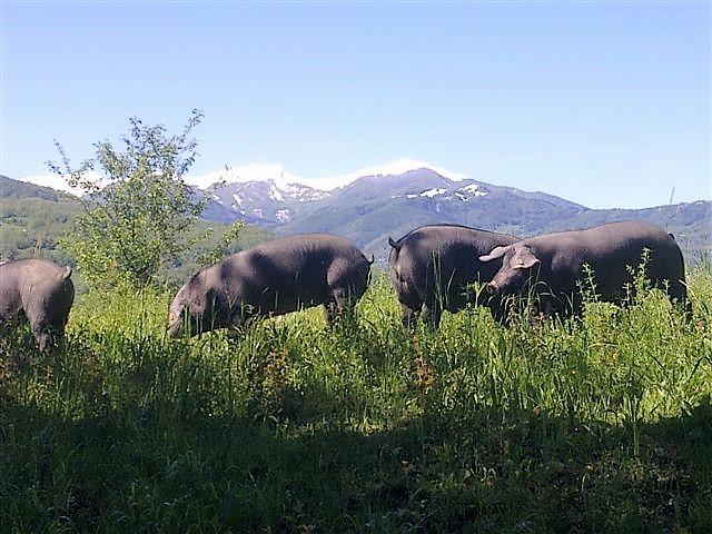 I maiali neri di Ca' Mezzadri al pascolo montano
