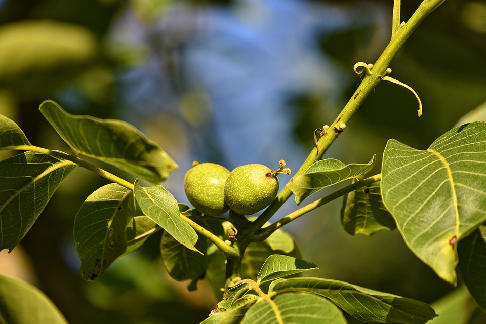 Green walnuts to make nocino