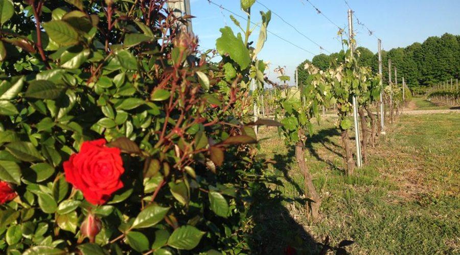 vigna con rose_LA-mADONNINA
