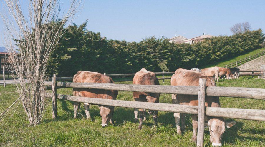 azienda iris mucche