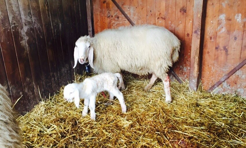 tenuta i musi lunghi pecore